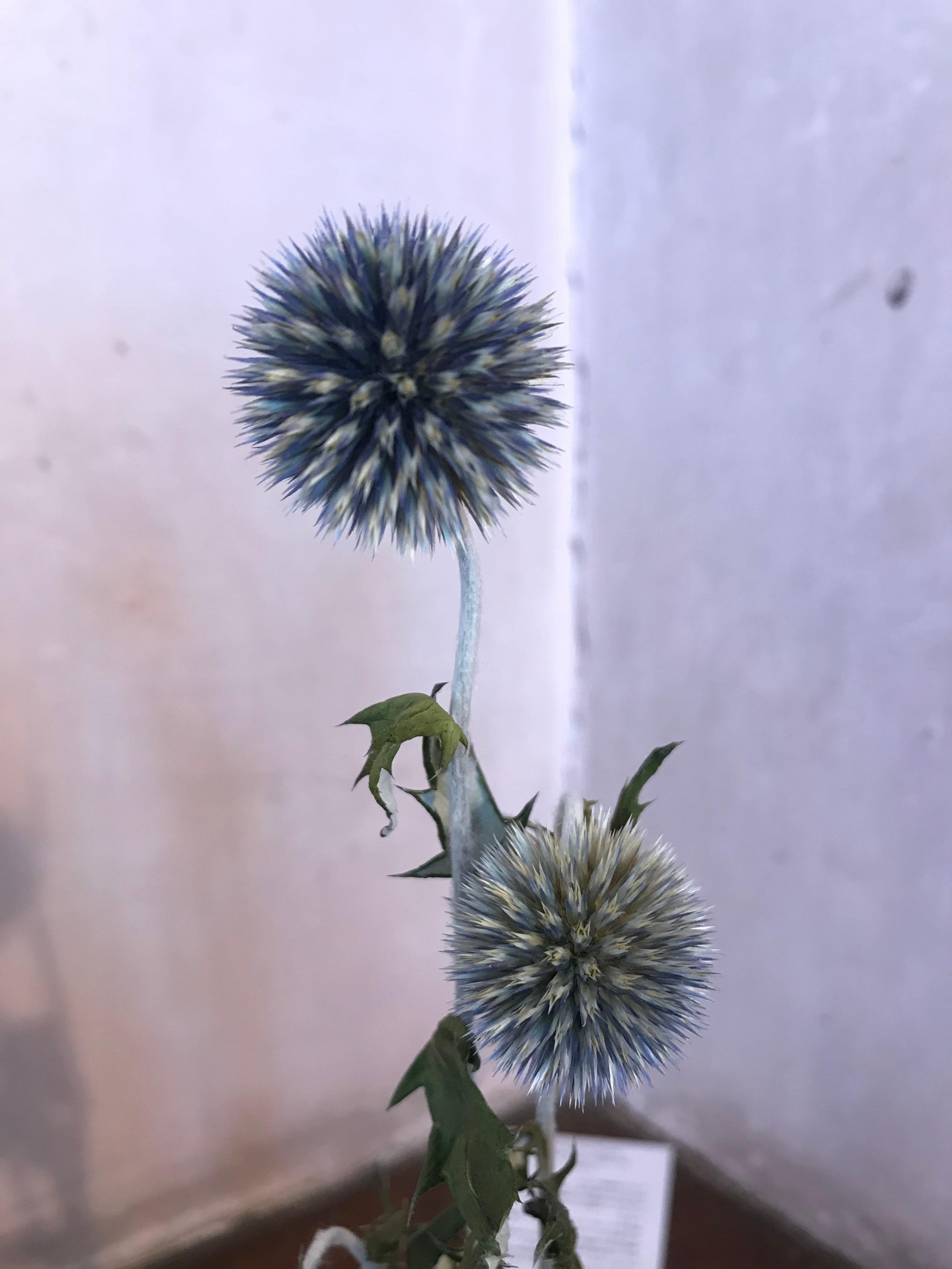 ルリタマアザミ