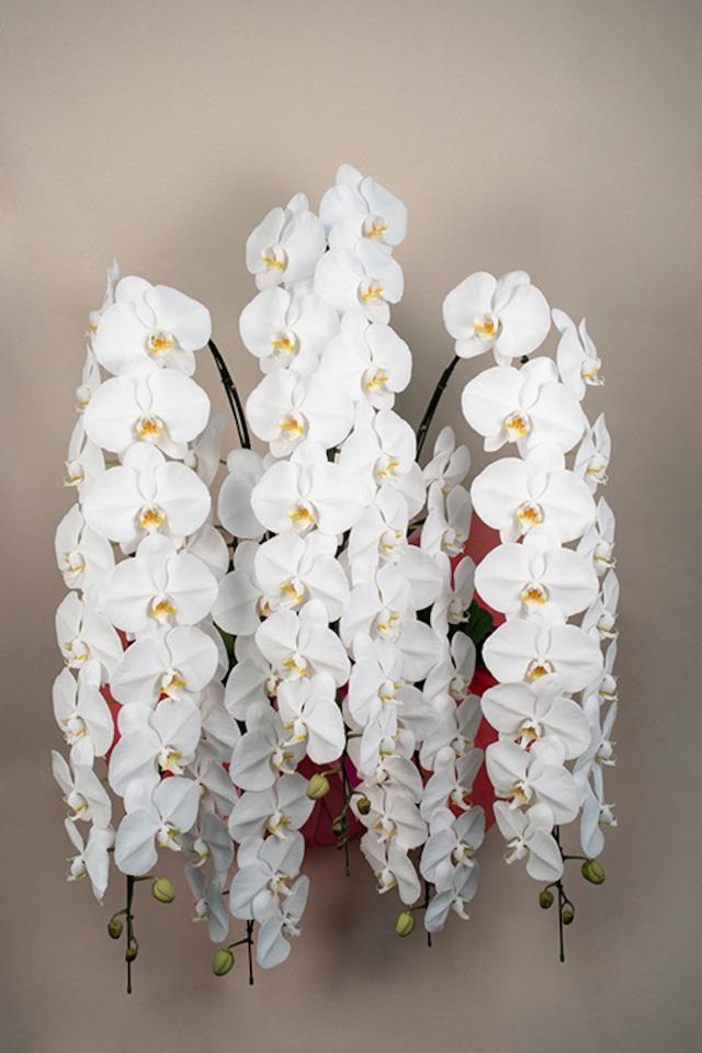 胡蝶蘭 白 5本立 3Lサイズ