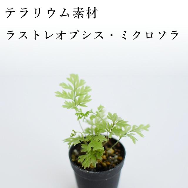 ラストレオプシス・ミクロソラ(シダ植物) 苔テラリウム作製用素材