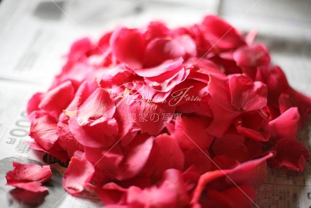 301 寒椿の花弁「鑑賞花」