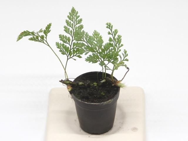ダバリア フィジエンシス《苔テラリウム・コケリウム用観葉植物》