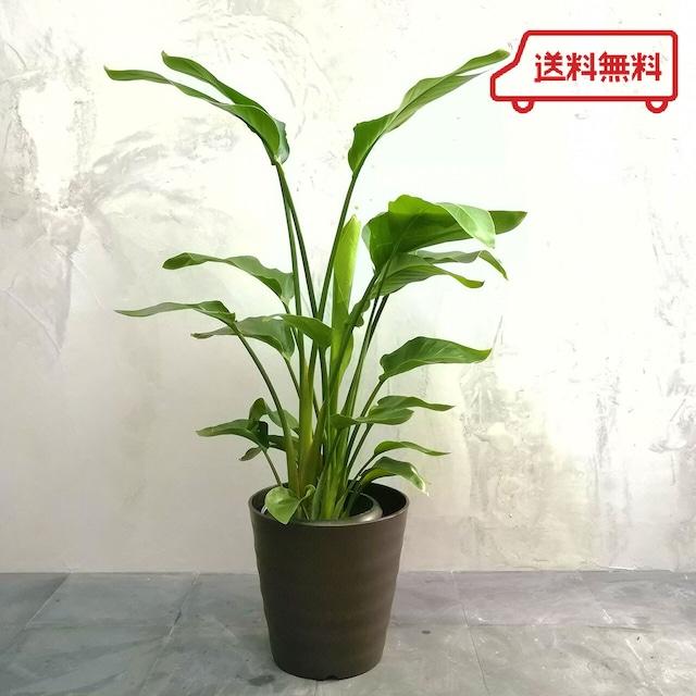 【送料無料】観葉植物 オーガスタ 8号  フレグラーポット付き